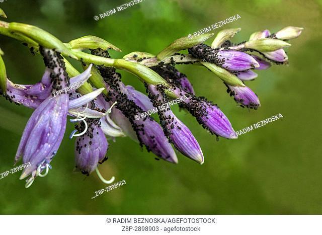 Aphids on Hosta flowers