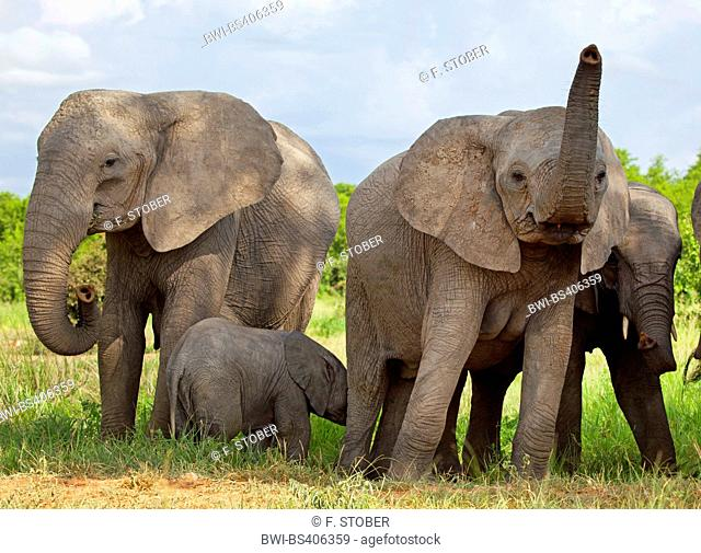 African elephant (Loxodonta africana), cow elephnats with calf, South Africa