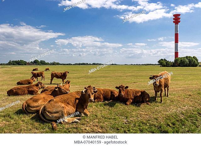 Pasture, cattle, lighthouse Oberfeuer Tossens, Eckwarder Deich, district of the Butjadingen municipality, administrativ district Wesermarsch