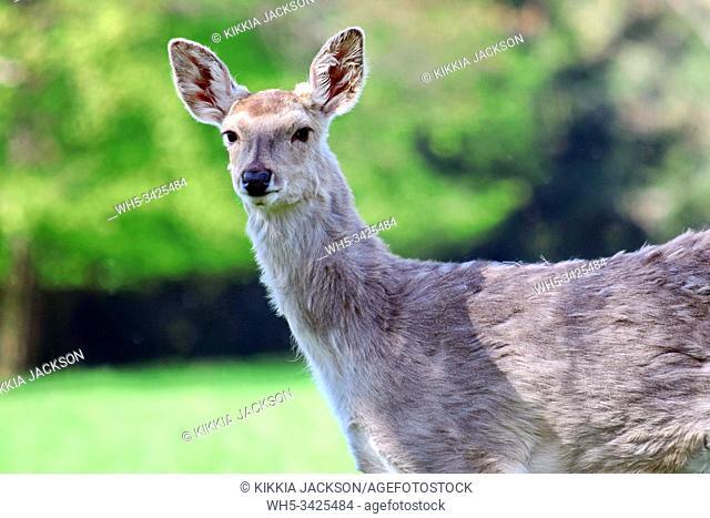 Dybowskii Female Deer Closeup in the Forest, Czech Republic