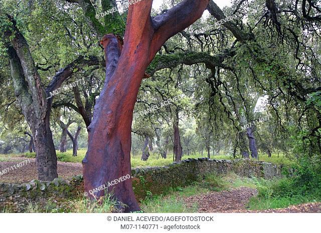 Oaks of Andalucia, cork bark for industrial us