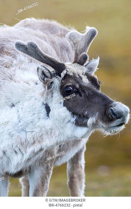 Svalbard Reindeer (Rangifer tarandus platyrhynchus) in the tundra, animal portrait, Spitsbergen Island, Svalbard archipelago, Norway