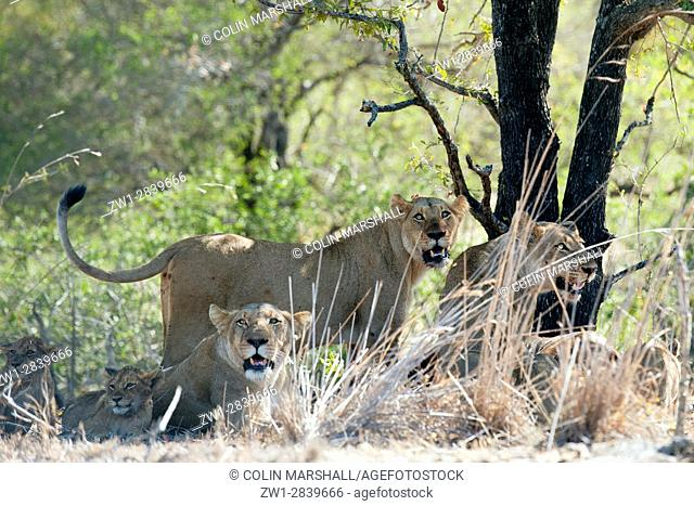 Female Lion (Panthera leo) standing up amongst pride and cubs, Kruger National Park, Transvaal, South Africa