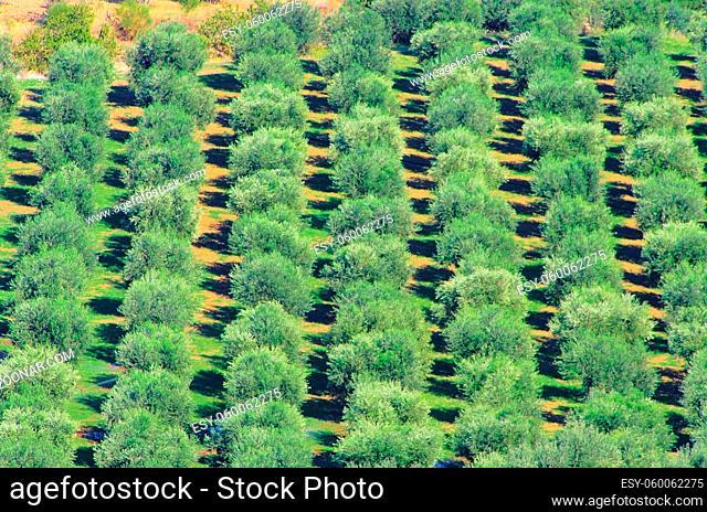 Olivenhain - olive grove 38