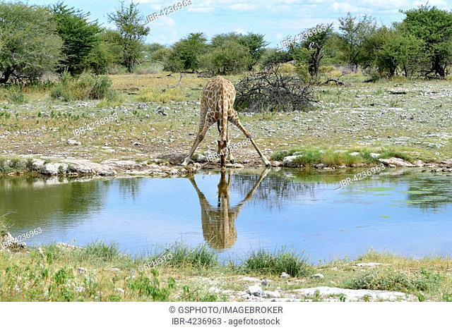 Giraffe (Giraffa camelopardalis) drinking at waterhole, Etosha National Park, Namibia