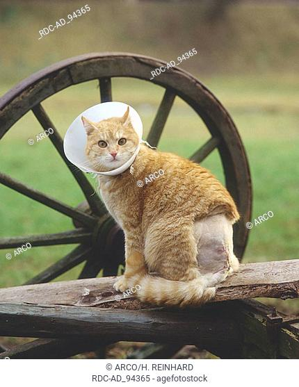 Domestic Cat with collar to prevent it from getting at wound