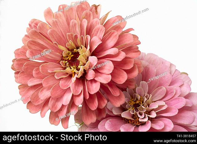 A pair of pink zinnias with a tiny bug on one