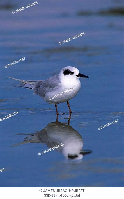 Forster's Tern standing in water
