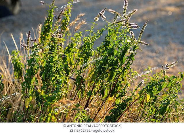 Mint (Mentha crispata). Almansa, Albacete province, Castilla-La Mancha, Spain
