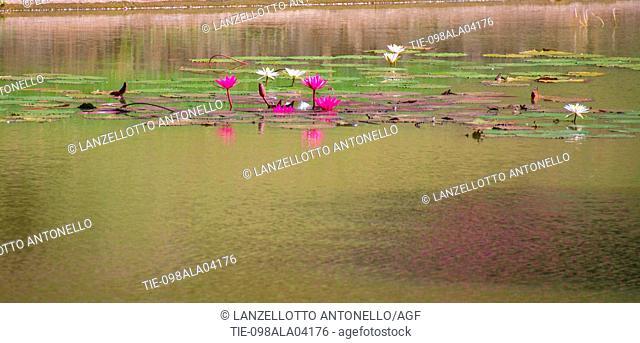 Asia, Sri Lanka, Kandy, Royal Botanic Garden Peradeniya, Nymphaea stellata