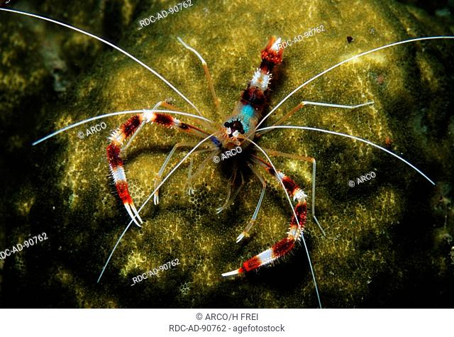Coral Banded Boxing Shrimp, Lembeh Strait, Indonesia, Stenopus hispidus