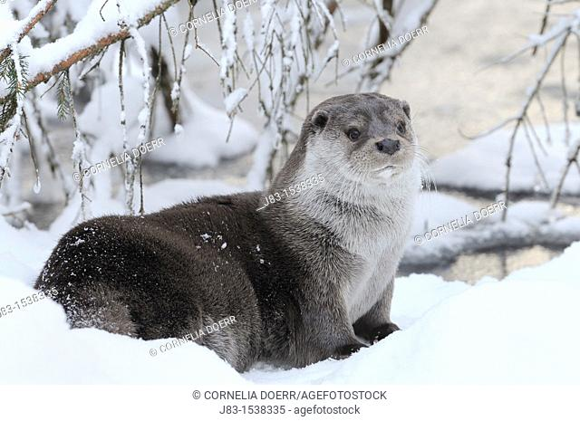 European Otter Lutra lutra in the snow in Winter, Bavaria, Germany
