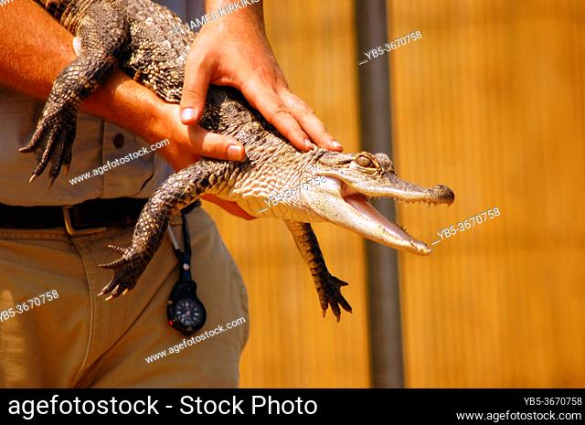 A juvenile alligator shows its teeth while the trainer keeps it pointed away from him