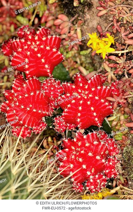 Moon cactus, Gymnocalycium Mihanovichii, Overhead close view of some red offsets with smaller ones growing of these