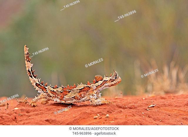 moloch Thorny Devil Moloch horridus Alice springs  Desert rouge  Australie Ordre Squamata Famille Agamidae