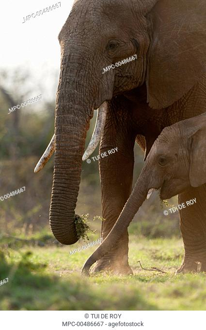 African Elephant (Loxodonta africana) mother and calf grazing, Mpala Research Centre, Kenya