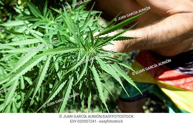 A man checks his plantation of marijuana plant