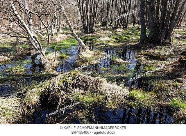 Moorland in the spring, Western Pomerania Lagoon Area National Park, Fischland-Darss-Zingst, Baltic Sea, Mecklenburg-Western Pomerania, Germany, Europe