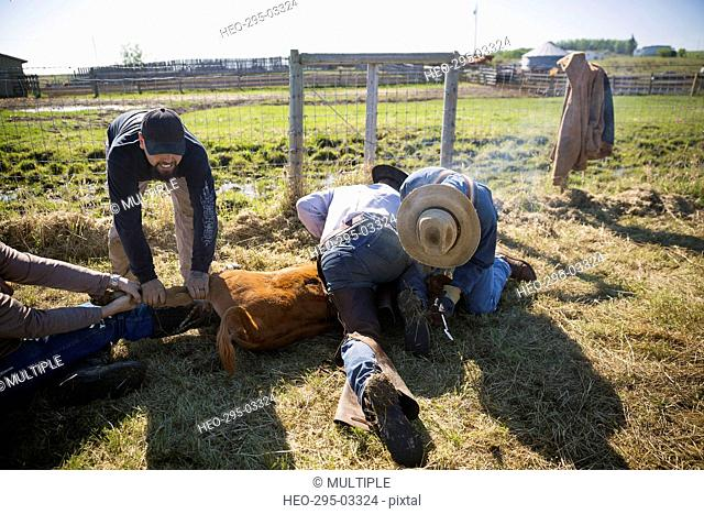 Cattle ranchers holding cow down for branding