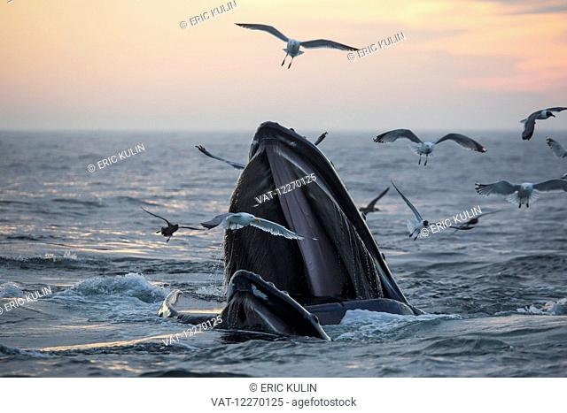 Humpback whale (Megaptera novaeangliae) and a flock of birds on the surface of the water at sunset; Massachusetts, United States of America