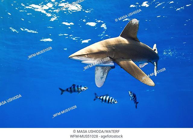 Oceanic Whitetip Shark with Pilot Fish, Carcharhinus longimanus, Naucrates ductor, Pacific Ocean, Hawaii, USA