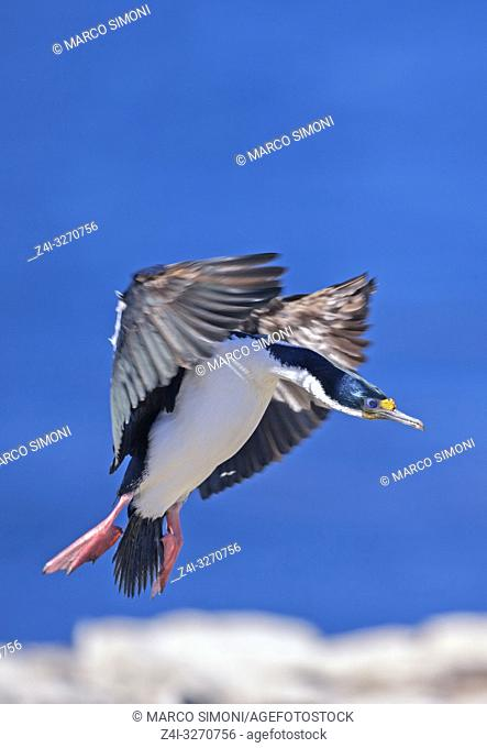 King cormorant in flight, Falkland Islands, South America,