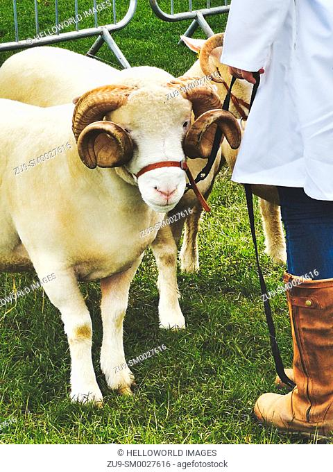Sheep handler and sheep with large curled horns, Three Counties Show 2019, Malvern, Worcestershire, England