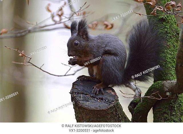 Red Squirrel ( Sciurus vulgaris ), sitting in a tree, feeding on seeds, wildlife, Europe.