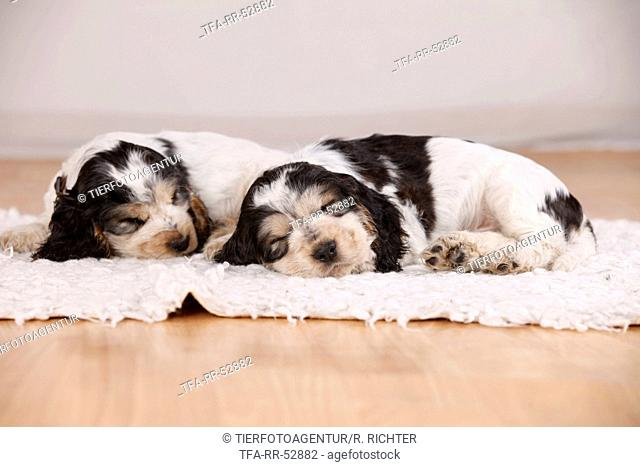 sitting Cocker puppies
