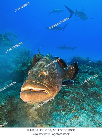 large black grouper, Mycteroperca bonaci, and Caribbean Reef Sharks, Carcharhinus perezi, black grouper can grow up to 1 5 m weighing 100 kg, Grand Bahama