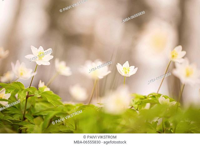 Wood Anemones in the wind, Anemone nemorosa