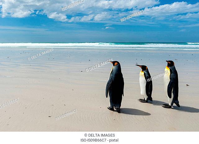 King penguins (Aptenodytes patagonica), walking towards sea, Port Stanley, Falkland Islands, South America