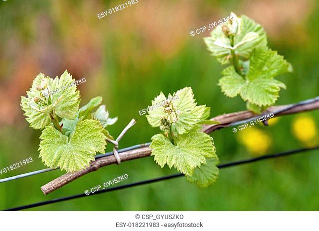 Grape wine sprouts