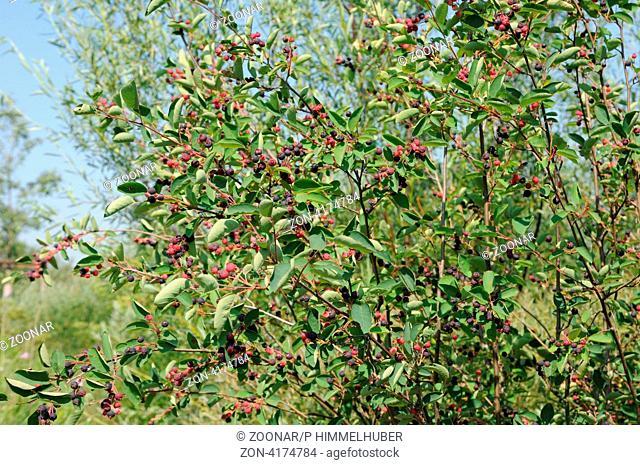 fruchtende Zweige
