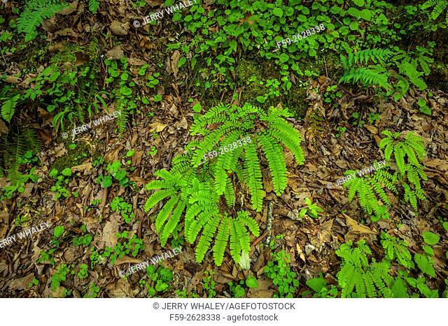 Ferns on Meigs Creek Trail, Great Smoky Mtns NP, TN