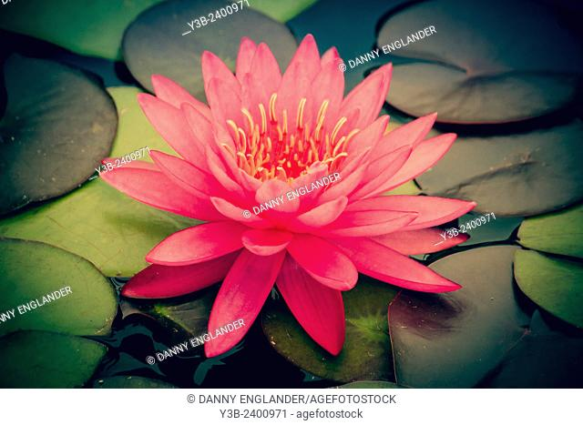 Water Lilly vinatge-style