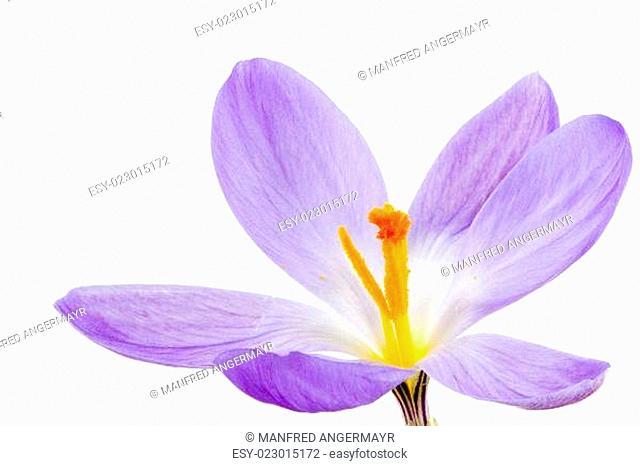 Isolated Purple Crocus Blossom