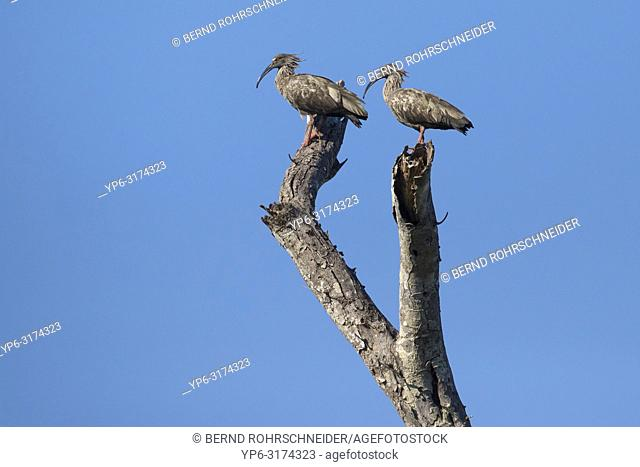 Plumbeous ibis (Theristicus caerulescens), two adults standing on tree, Rio Claro, Pantanal, Mato Grosso, Brazil