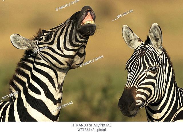 Burchell's Zebra (Equus burchelli), Maasai Mara National Reserve, Kenya