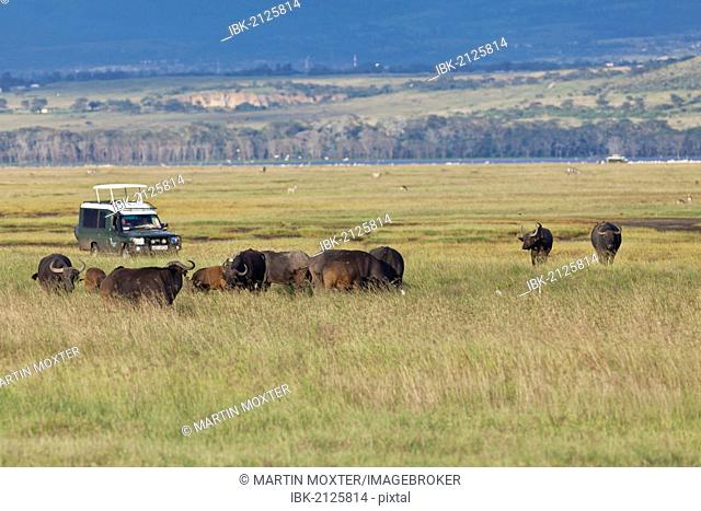 Group of African Buffalo (Syncerus caffer) in front of an off-road vehicle, Lake Nakuru National Park, Kenya, East Africa, Africa, PublicGround