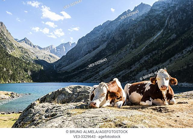 Cows resting in Gaube Lake, Pyrenees national Park (Hautes-Pyrénées Department, Nouvelle-Aquitaine Region, France)