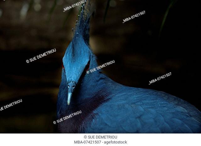 Blue bird, punk like, Victoria crowned pigeon, Goura victoria