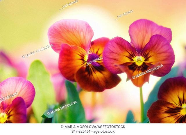 Bright Pansy Flower Family. Viola x wittrockiana