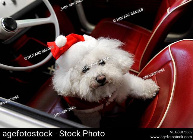 Dog, Maltese, Bichon maltais, in santa claus costume, sitting, car seat