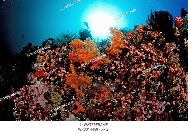 Reef with Cave Corals, Dendrophyllia Tubastrea sp., Komodo, Flores sea, Indonesia