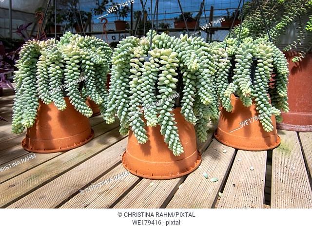 Sedum plant Sedum burrito, in large pots. Spring garden series, Mallorca, Spain
