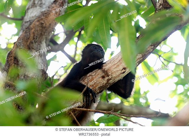 Costa Rica, Guanacaste, Tamarindo, howler monkeys (Alouatta) are a primate genus from the family atelids (Atelidae)