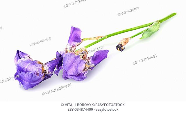 Single iris flower lying isolated on white background