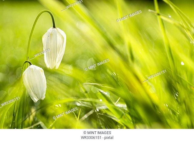 Close up of delicate white blossoms of a Snake's Head Fritillary on a meadow