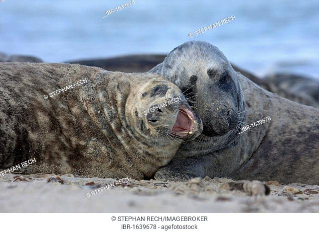 Grey Seals (Halichoerus grypus), playing on the beach on the island of Heligoland, Helgoland, Schleswig-Holstein, Germany, Europe